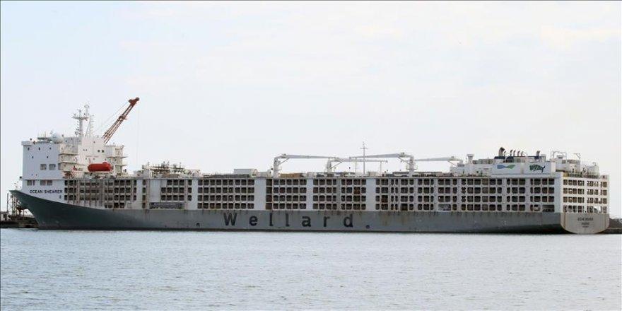 20 bin ithal angus Samsun Limanı'na ulaştı