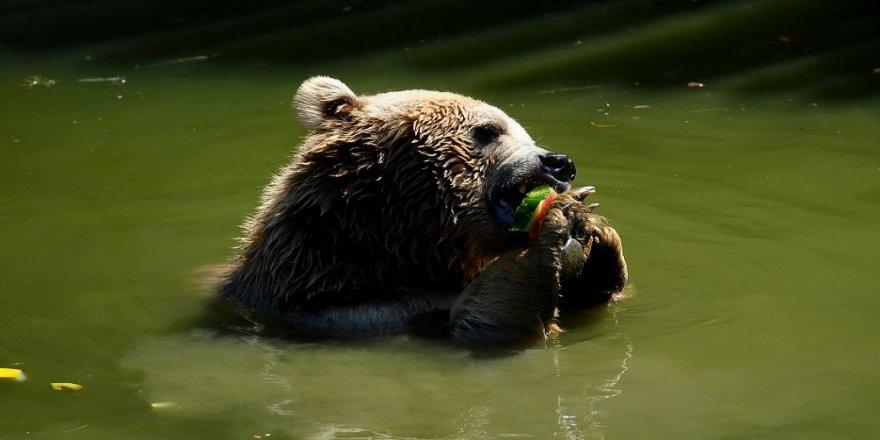 Sıcaktan bunalan ayıların buzlu meyve keyfi