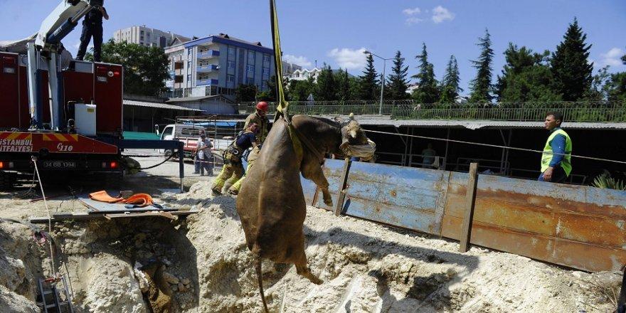 Kurbanlık hayvan 5 metrelik çukura düştü