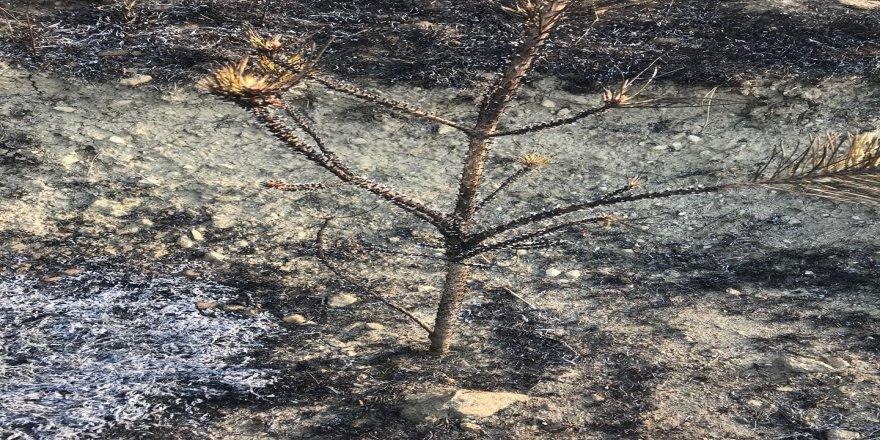 Çocukların yaktığı ateş çam fidanlarını kül etti
