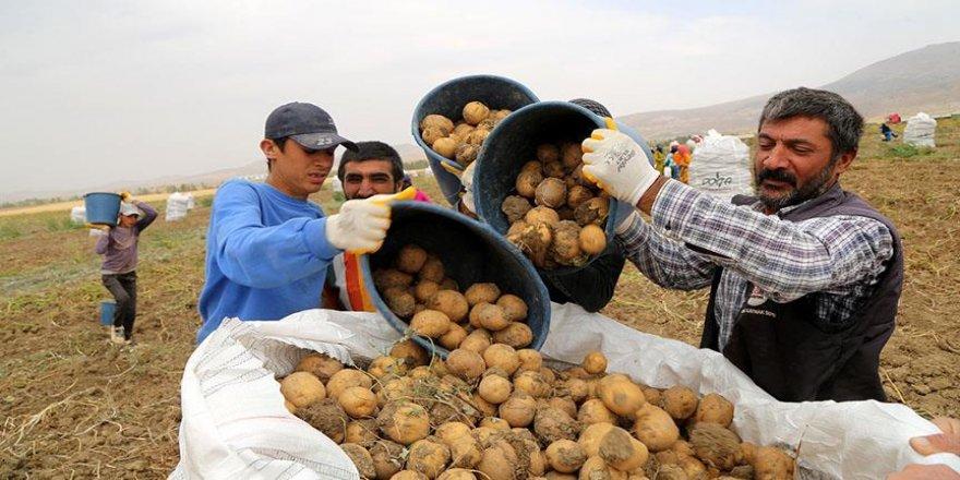 7 çeşit yerli patates üretildi