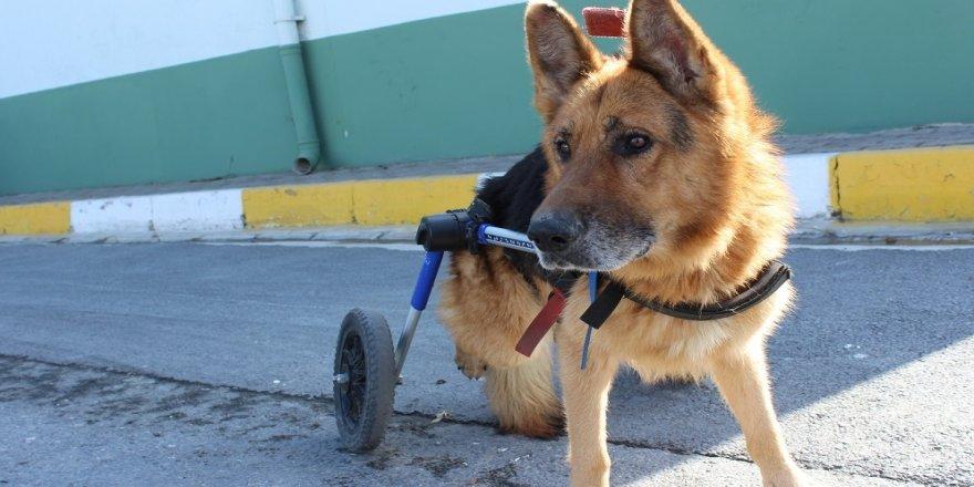 Felçli köpek yürüteçle hayata tutundu
