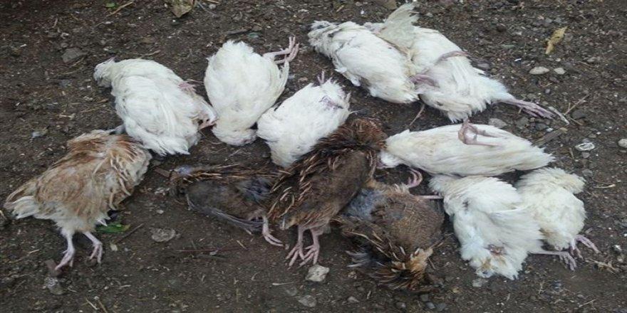 3 günde 50 tavuk telef oldu
