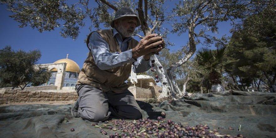 Aksa'nın zeytinlikleri sadece yoksullara ait!