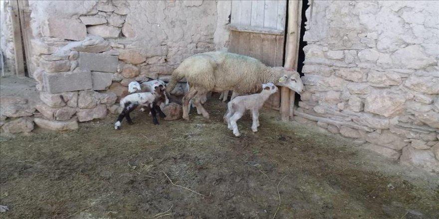 Koyun tek batında 5 kuzu doğurdu