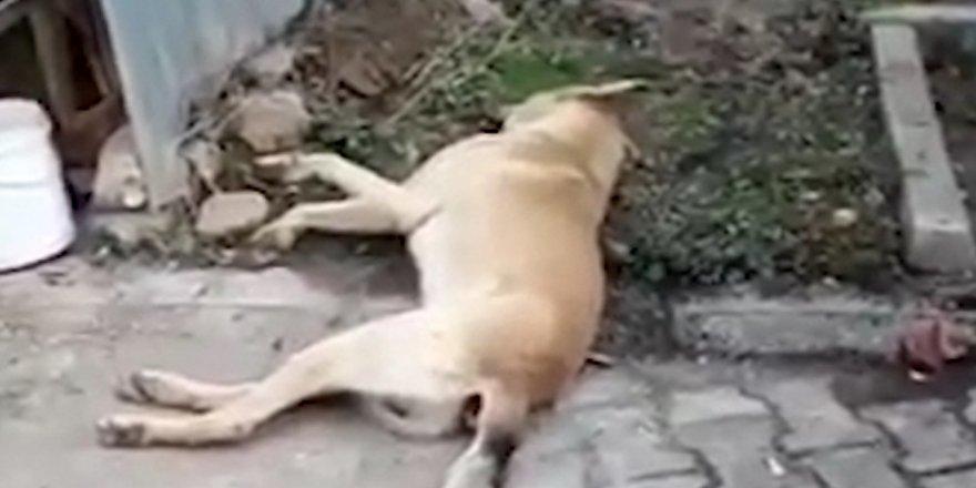 Köpeklerin zehirli iğne ile katledildiği iddiası