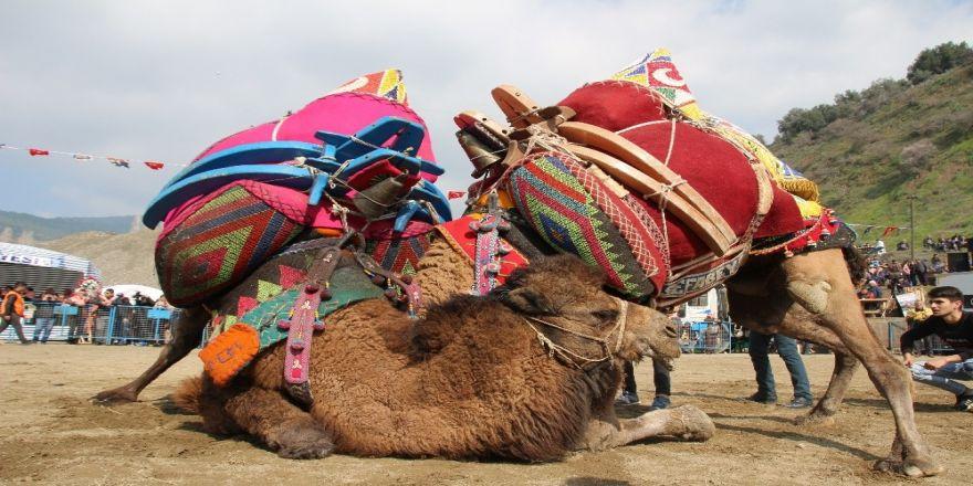 Salihli'de yarın deve güreşi şenliği var