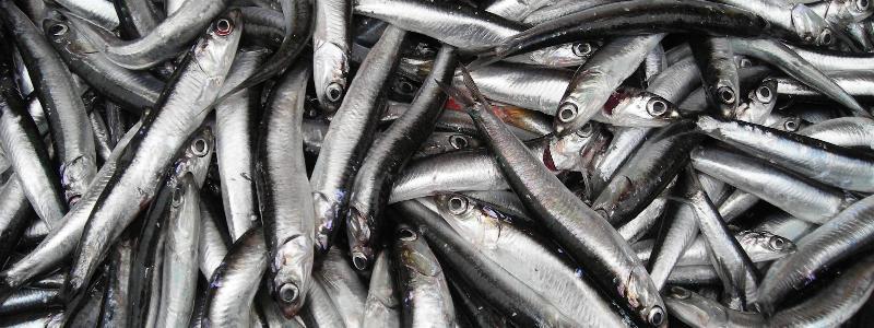 Balık Tezgahları Ucuz Hamsi İle Şenlendi