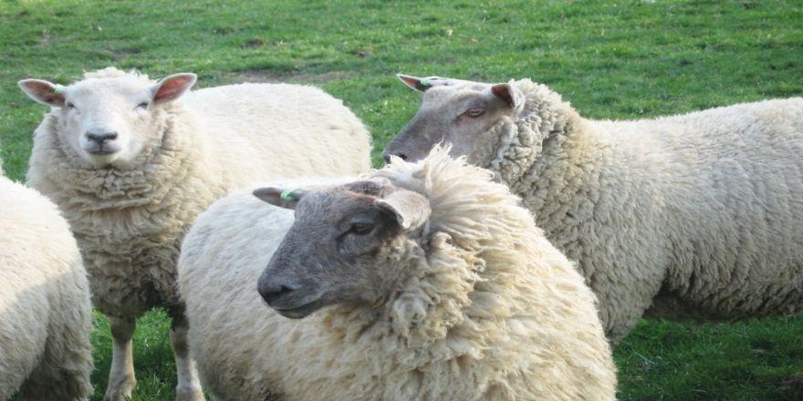 Küçükbaş Hayvanlar Tarsim'le Tüm Hastalıklara Karşı Güvende