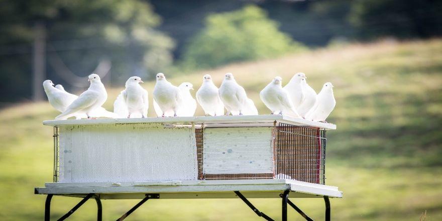 Güvercinseverler yarışlara hazırlanıyor
