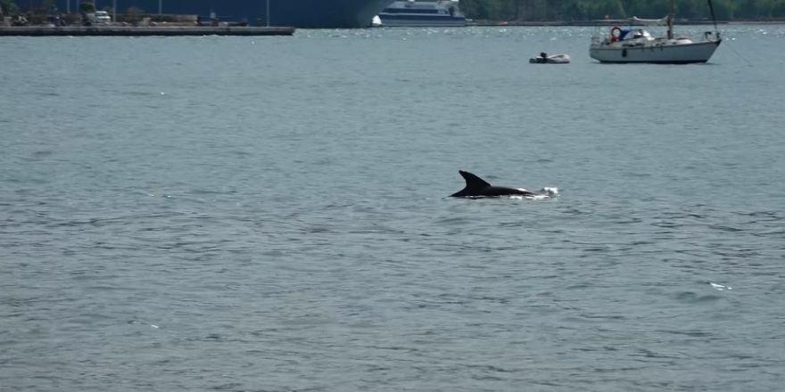 Yunuslar Yüzdü, Turistler Videoya Çekti