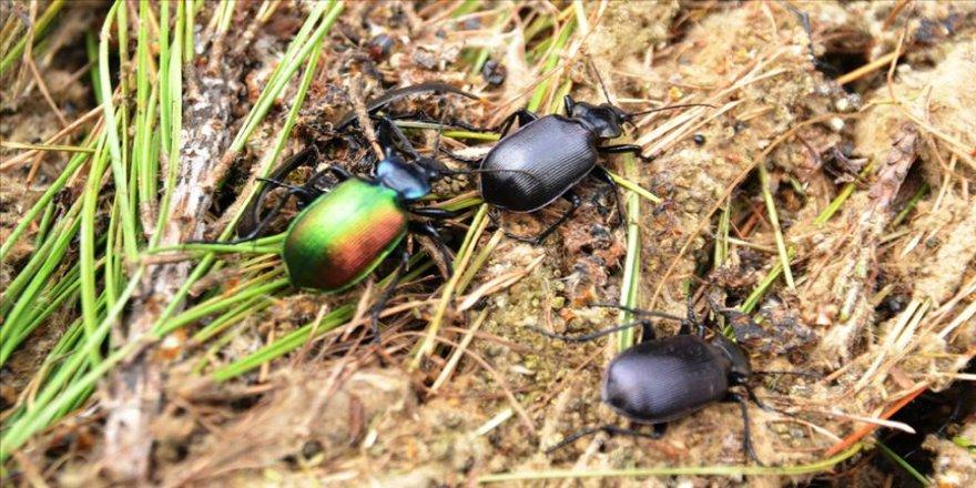 'Terminatör böcek'ler iş başında