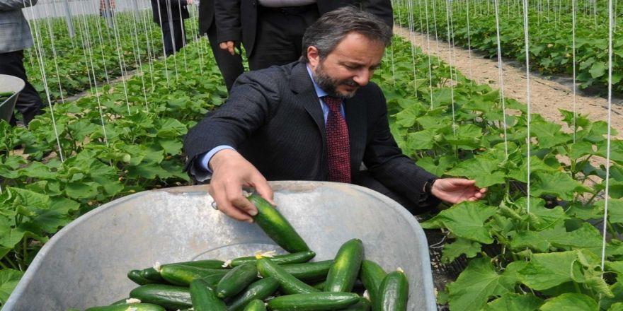"""Elazığ'da Serada İlk Hasat """"Salatalık"""""""