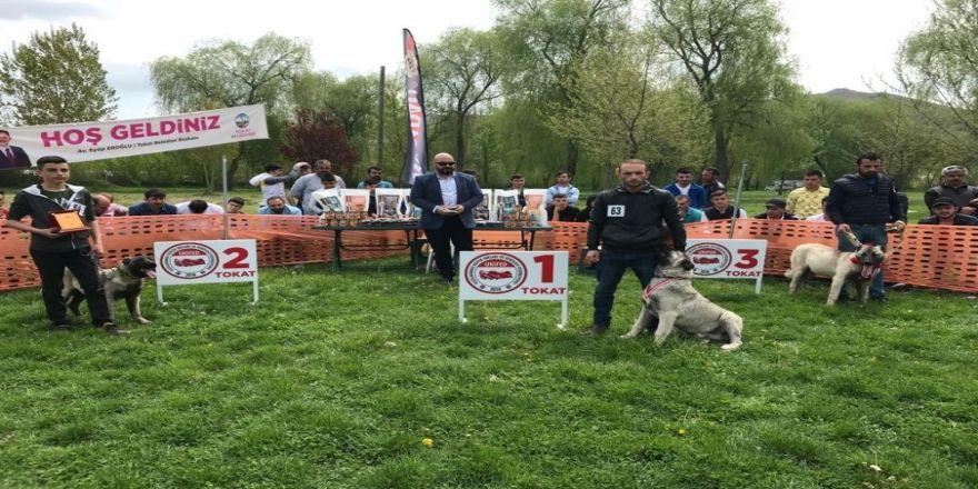 Türk çoban köpekleri podyuma çıktı