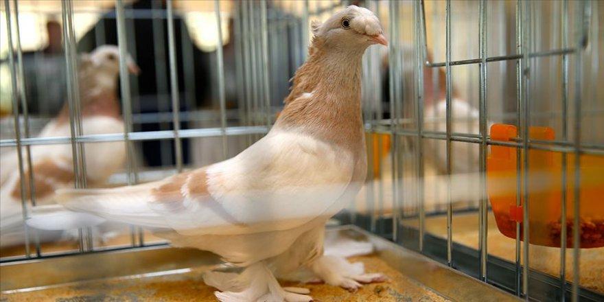 Güvercinler birinci olmak için yarıştı