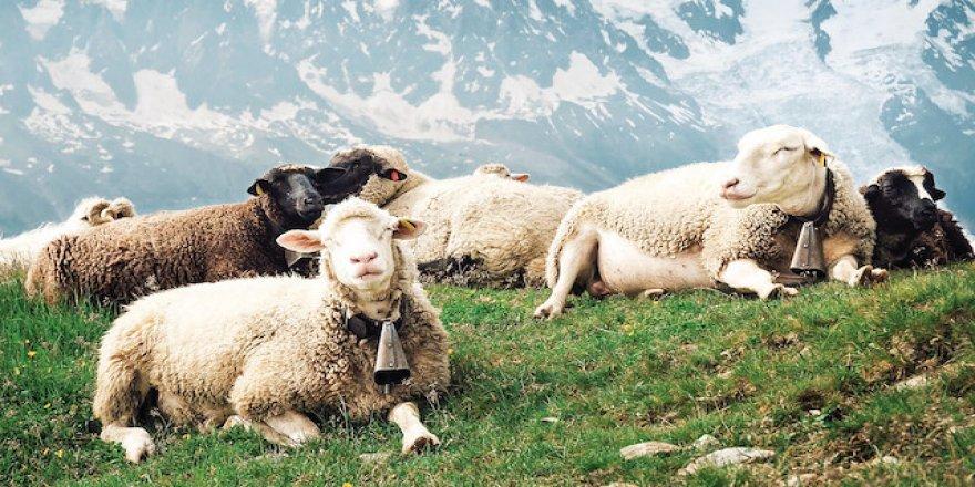 15 koyun okullu oldu