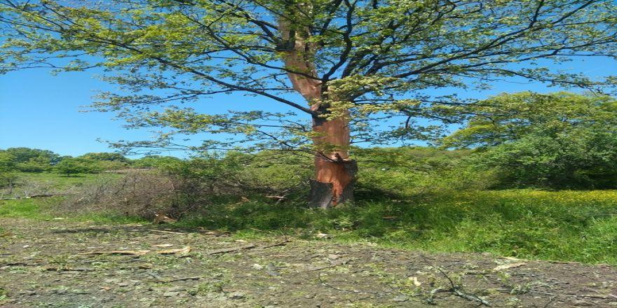 Ağaca yıldırım düştü