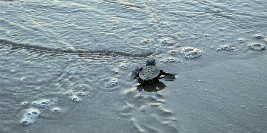 Yeni fikirler deniz kaplumbağaları için yarışacak