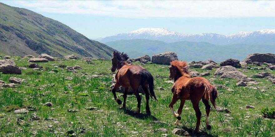 Munzur dağlarının mevsimlik atları ilgi görüyor