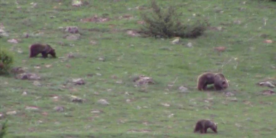 Erzurum'da boz ayılar yiyecek ararken görüntülendi