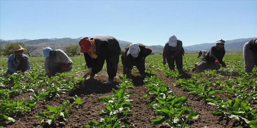 Kadın tarım işçilerinin zorlu ramazan mesaisi