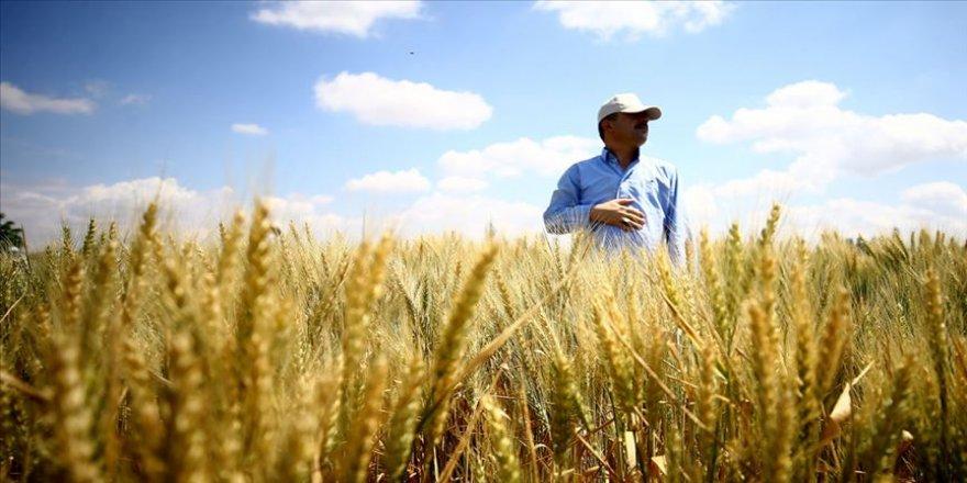 Kuraklığa dayanıklı buğdaylar tanıtıldı