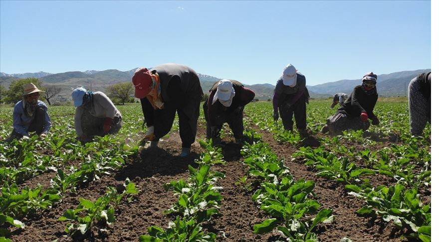 Tarım işçilerinin 'gurbet mesaisi' başladı