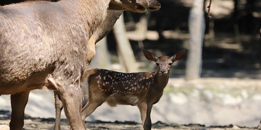 Ormanya'da yaban hayvanı popülasyonu artıyor