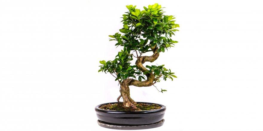 Hediyenin En Tatlı Hali_ Bonsai Ağacı