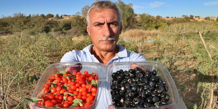 Şifa niyetine 'goji berry' yetiştiriciliğine başladı