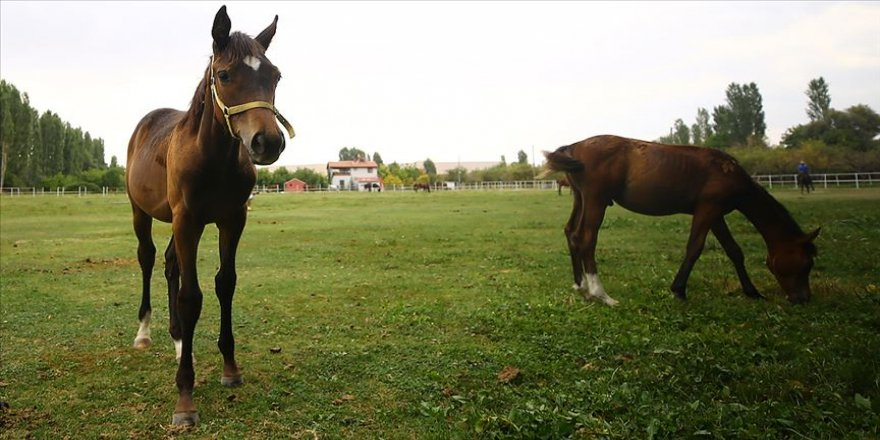 Şampiyon yarış atlarının yaylası: Ereğli