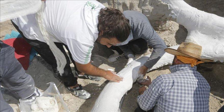 7,5 milyon yıllık fosil 'alçı ceketle' taşındı