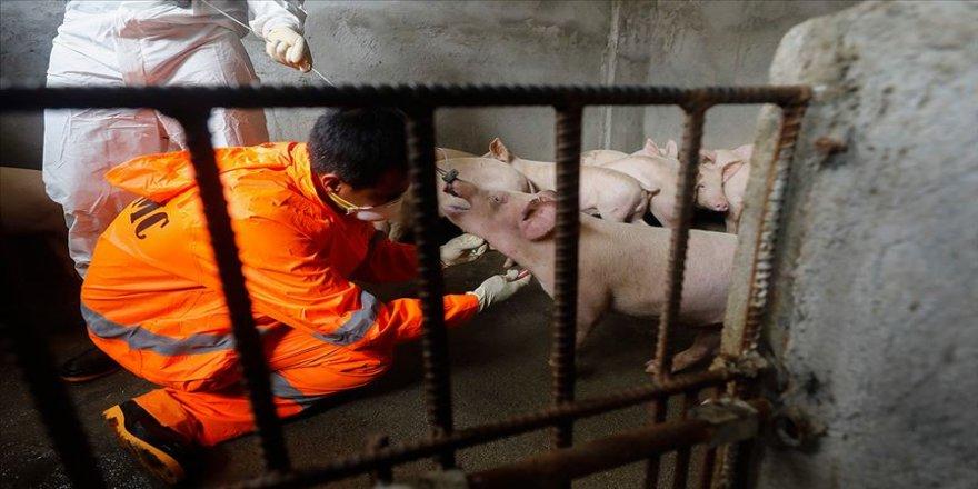 Güney Kore'de Afrika domuz vebası salgını yayılıyor