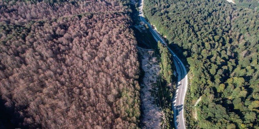 Ormanı istila eden tırtıllar ağaçlarda yaprak bırakmadı