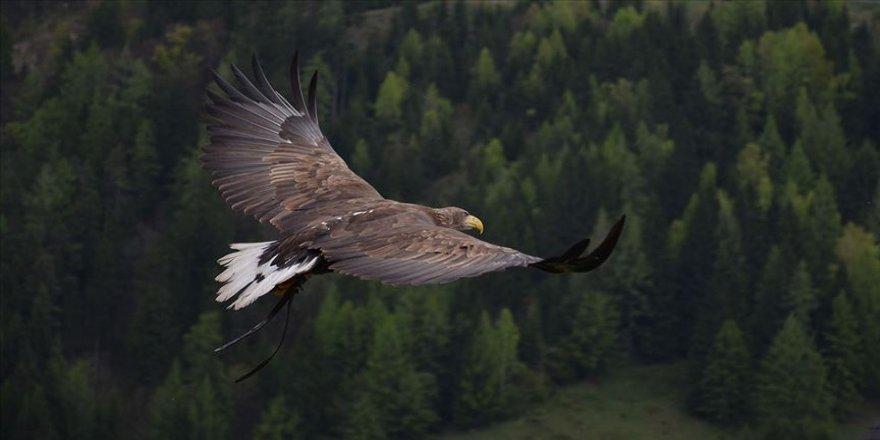 Kuzey Amerika'daki yırtıcı kuşların sayısında çarpıcı düşüş