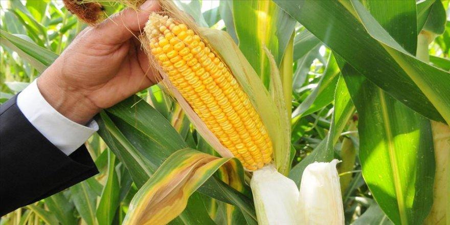 Yemlik mısır eken çiftçinin kazancı 4 kat arttı
