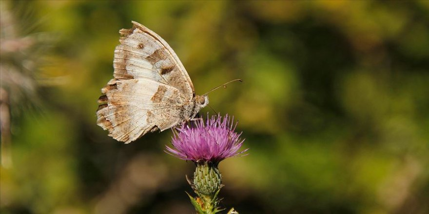 Doğanın göz kamaştıran güzelliği: Cadı kelebeği