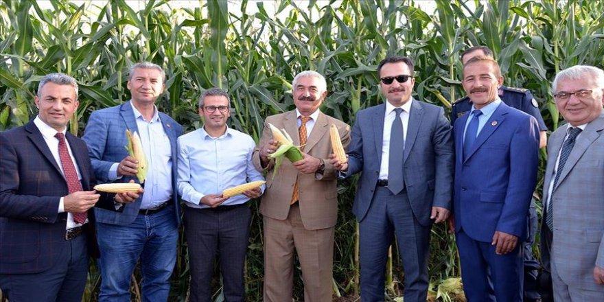 Yerli tohumla ekilen mısırdan iki kata yakın verim elde edildi