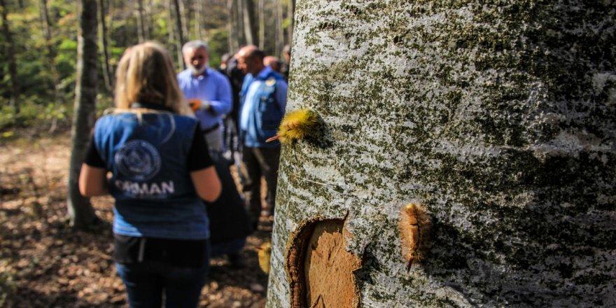 Kayın ormanını tırtıl istilasından 'bacillus' kurtaracak