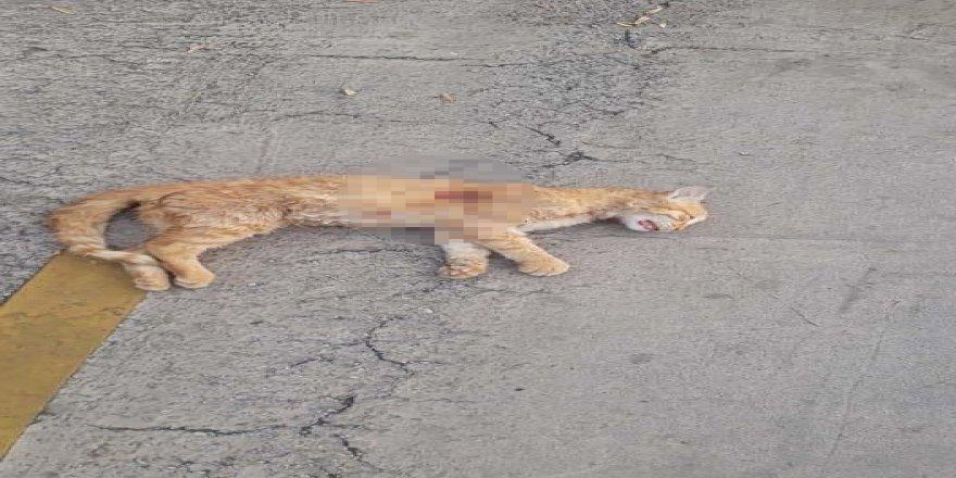 Kediyi göğsünden vurdular