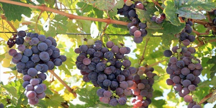 Türkülere konu olan üzümler koruma altına alınıyor