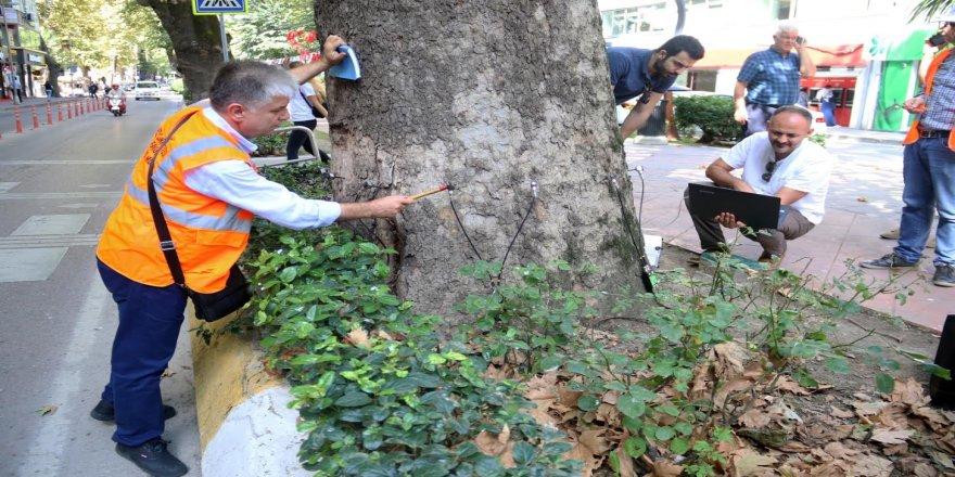 Asırlık çınar ağacı kesilecek