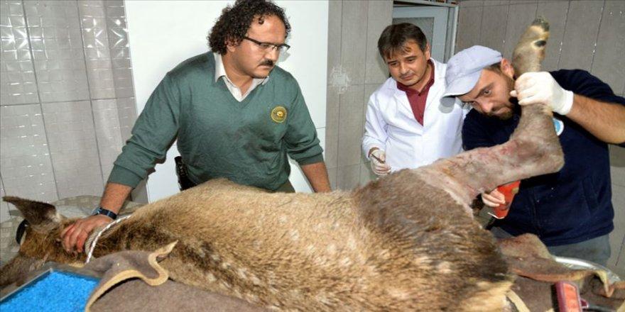 Bilecik'te av tüfeğiyle yaralanan kızıl geyik tedavi ediliyor