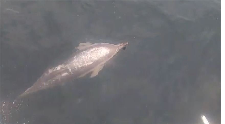 Marmara Denizi'ndeki yunuslar tekneye eşlik etti