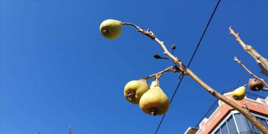 Osmaniye'de armut ağacı kışın meyve verdi