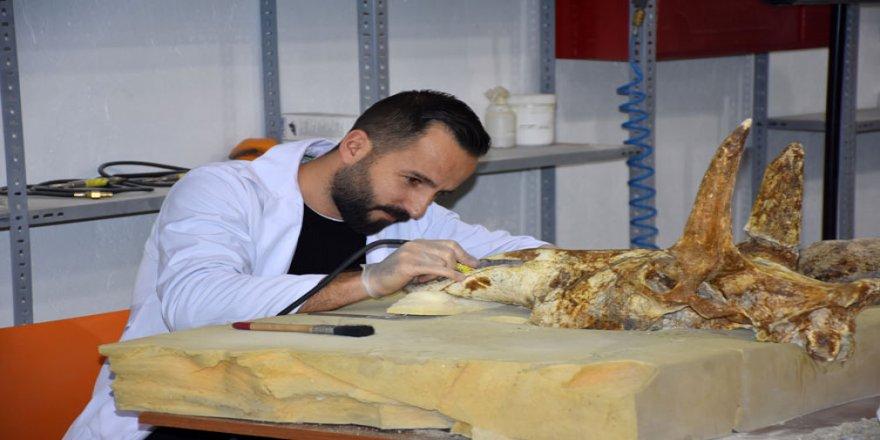 7,5 milyon yıllık fosiller ince işçilikle sergiye hazırlanıyor