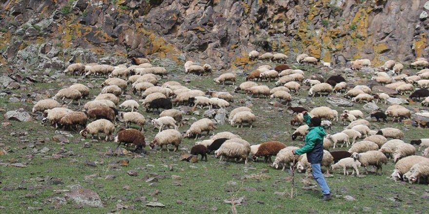 Koyunları doyurmak için oruçlu olmalarına rağmen saatlerce merada yürüyorlar