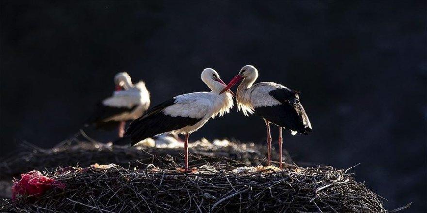 Göçmen kuşların tehlikeli düşmanı: Çevre kirliliği