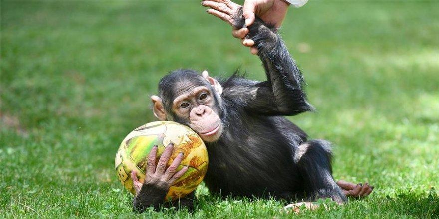 Şempanze 'Can' da uzun aradan sonra yuvasından çıktı