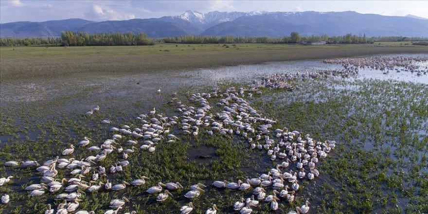Kışı Eber Gölü'nde geçiren flamingolar güzellikleriyle ilgi çekiyor